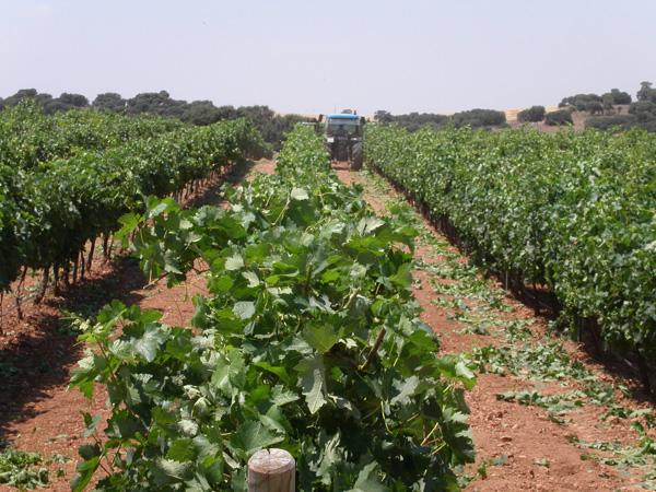 maquinaria-agricola-despuntadoras-para-viña-12